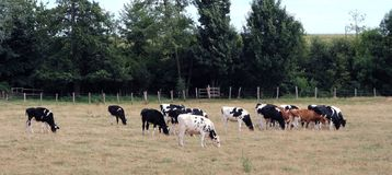 Herd of cows grazing. A herd of cows in a field in summer stock photos