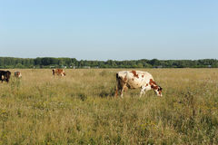 A herd of cows grazing in the field. Sunny summer day Royalty Free Stock Photo