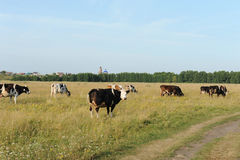 A herd of cows grazing in the field. Sunny summer day Stock Images