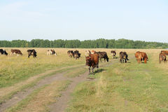 A herd of cows grazing in the field. Sunny summer day Royalty Free Stock Photography