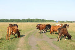 A herd of cows grazing in the field. Sunny summer day Stock Photo