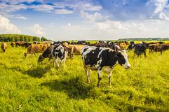 A herd of cows grazing on the field on a sunny summer day. Moscow region, Russia stock photo
