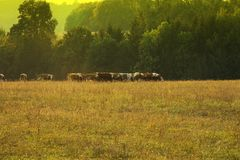 Herd of cows grazing in a field Royalty Free Stock Photos
