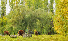 Herd of cows grazing in the forest Stock Image