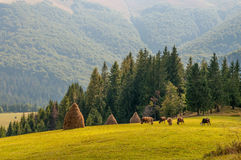 Herd of cows grazing on fresh green mountain pastures, Carpathians Stock Image