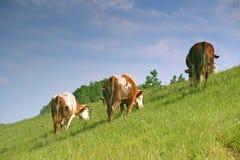 Cows graze Royalty Free Stock Photos