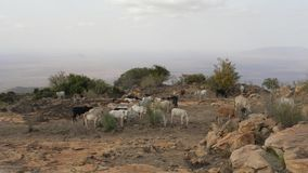Herd Of Cows Grazing Grass In The African Desert On The Mountain Among The Rocks