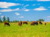 Herd of cows grazing on the grass field. Herd of  cows grazing on the grass field Stock Photo