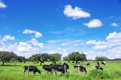 Herd of cows grazing,  green field Stock Photos
