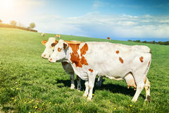 Herd of cows grazing at green field Royalty Free Stock Images