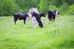 A herd of cows grazing on a green meadow.  stock photo