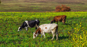 Herd of cows grazing on a green meadow Royalty Free Stock Photography
