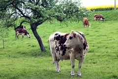 Herd of cows grazing. A herd of cows in a field in summer royalty free stock image