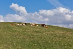 Herd of cows grazing on a high hill pasture Royalty Free Stock Images