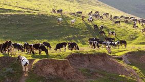 Herd of cows grazing in the hills in the spring stock photos