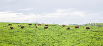 Herd of cows on grazing land Stock Photos