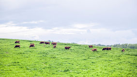 Herd of cows on grazing land Royalty Free Stock Images