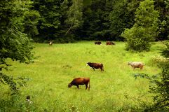 A herd of cows grazing on a meadow Royalty Free Stock Image