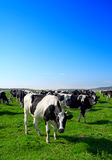 Herd of cows grazing in meadow Royalty Free Stock Images