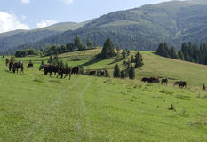 Herd of cows grazing in a meadow. Herd of cows grazing on a beautiful meadow of the Ukrainian Carpathians Royalty Free Stock Images