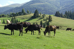Herd of cows grazing in a meadow. Herd of cows grazing on a beautiful meadow of the Ukrainian Carpathians Stock Image