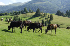 Herd of cows grazing in a meadow. Herd of cows grazing on a beautiful meadow of the Ukrainian Carpathians Stock Photography