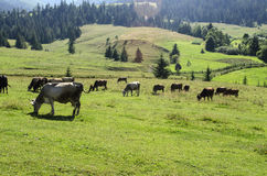Herd of cows grazing in a meadow. Herd of cows grazing on a beautiful meadow of the Ukrainian Carpathians Royalty Free Stock Photography