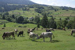 Herd of cows grazing in a meadow. Herd of cows grazing on a beautiful meadow of the Ukrainian Carpathians Royalty Free Stock Photo
