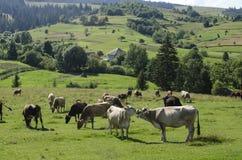 Herd of cows grazing in a meadow. Herd of cows grazing on a beautiful meadow of the Ukrainian Carpathians Stock Photo