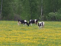 Beautiful cows eating grass in the meadow royalty free stock photo