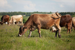 A herd of cows grazing on a meadow Royalty Free Stock Photography