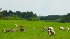 Herd of cows grazing in the meadow stock footage