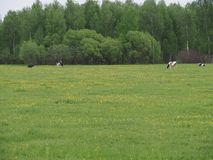 Herd of cows grazing in the meadow stock images