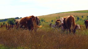 Herd of cows grazing in the meadow. stock video