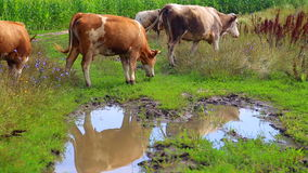 Herd of cows grazing in the meadow. stock video footage