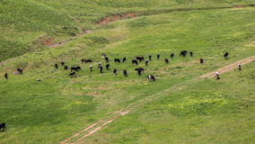 Herd of cows grazing in a meadow, Kazakhstan - 4K Timelapse stock video footage