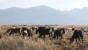 Herd of cows stock video footage