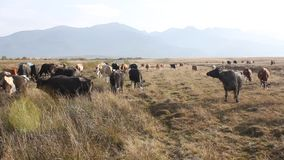 Herd of cows stock footage