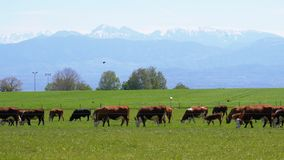 Herd of Cows Grazing in a Meadow near the Farm on backdrop of Swiss Alps stock video