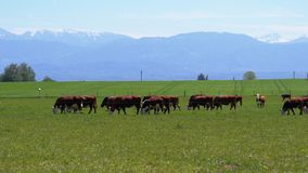Herd of Cows Grazing in a Meadow near the Farm on backdrop of Swiss Alps stock video footage