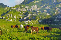 Herd of cows grazing in the mountains. The herd of cows grazing in the mountains  in summer Stock Image