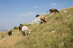 A herd of cows grazing. Municipality of Livno in Bosnia and Herzegovina is know for its chees production. The chees is produced from milk of cows and sheep that Stock Image