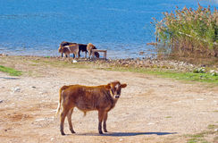Herd of cows grazing near blue lake Stock Images