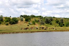 Herd of cows grazing near a pond Stock Images