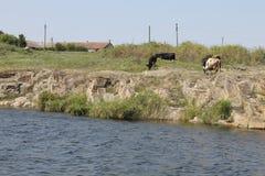 Herd of cows Stock Image