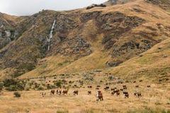 Herd of cows grazing Stock Photo