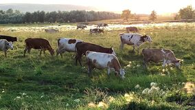 Herd of cows is grazing on the pasture in evening during sunset. Cattle return home.