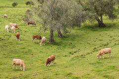 Herd of cows grazing on pasture Stock Images