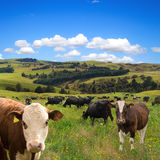 Herd of cows grazing Royalty Free Stock Photography