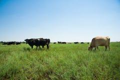 Herd of cows grazing Stock Image